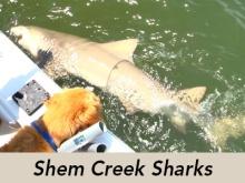 shem-creek-sharks-tv