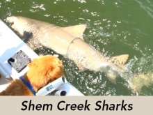 shem-creek-sharks-tv