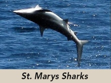 st-marys-sharks-header