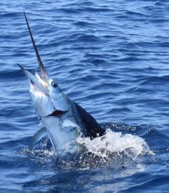 sailfish a